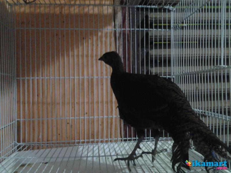 1030+ Gambar Hewan Ayam Hutan Gratis