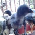 Anakkan Ayam Pelung Super Asli Kwalitas Jaminan Mutu
