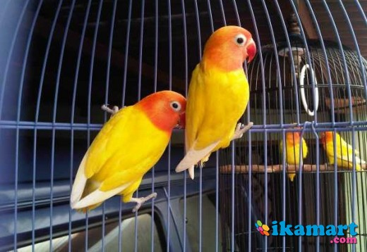 Unduh 40 Foto Gambar Burung Lovebird Lutino HD Paling Keren Gratis