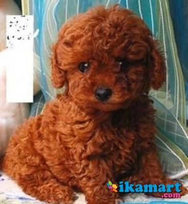 36++ Anjing pudel mini terbaru