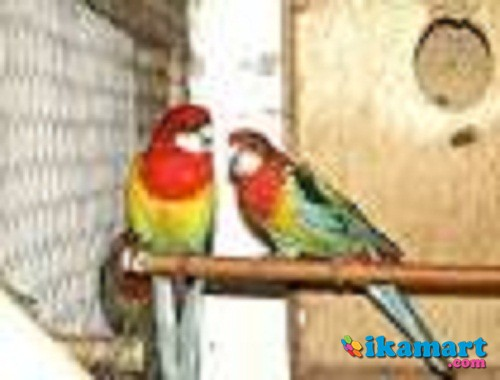 Burung Parkit Rosella Hewan Peliharaan