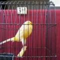 Burung Kenari YS DKB Ring Import Thn 2014 (085233057999)