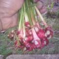 bibit jahe merah