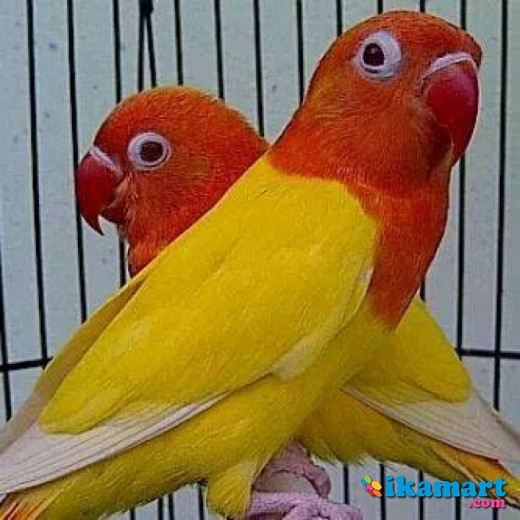 lovebird lutino mata merah   hewan peliharaan