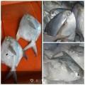 Beli Ikan Betutu (Gabus Malas), Kepiting Jumbo (Warna Merah), Ikan Bawal Putih, Lobster, Moa Marmorata