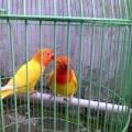 Sepasang Lovebird Lutino Mata Merah Kaca Mata