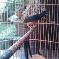 Di jual burung MURAI BATU MEDAN SUPER EKOR PANJAN FULL GACOR