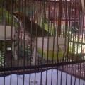 Cucak Rowo Sumatera Ropel (BnR Bird Farm)