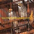 Cucak Rowo Sumatera Ropel (08124108144)