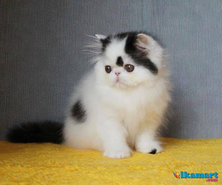 Kucing Persia Peaknose Pesek Hewan Peliharaan