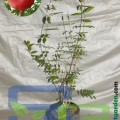 bibit delima merah / pomegranate