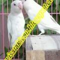 Jual LoveBird Albino MM Ngekek