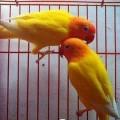 Jual Lovebird Lutino MM Ngekek Panjang No Cacat