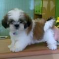 Anjing Shih Tzu