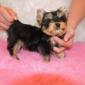 Anjing Yorkshire Terrier