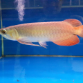 Ikan Arwana Super Red Ukuran 13 Cm + Hub 082346999964