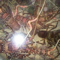 Jual lobster Pasir, hub 082292651576
