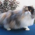 Kucing persia peaknose dewasa GEMUK