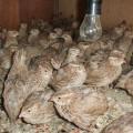 Jual burung puyuh petelur 085656032029