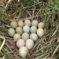 Jual Telur Ayam kampung 085656032029