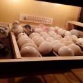 Jual Telur Tetas Ayam dan Bebek