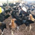 Jual Doc Ayam Kampung