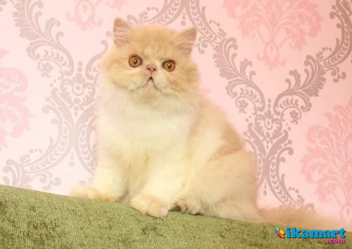 Download 93+  Gambar Kucing Lucu Persia Terbaik HD