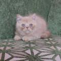 Kitten Persia Exotic Bloodline Pedigree