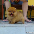 Anakan Anjing Mini Pom
